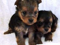 CKC Yorkie females born on December 3, 2013, we have