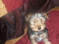 CKC registered yorkie male that is about 4 months old.