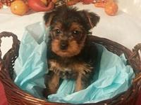 CKC Yorkie male ready for his forever home. He is