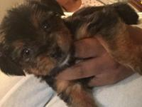 12 week old male Yorkie up to date on shots dewormed an