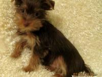 I have 5 Guy Yorkies available ... lots of shades, many