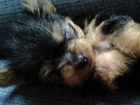 Hello, I have newborn Yorkie pups that were born