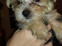 CKC Yorkie Poo Puppies, 8 weeks old, ONLY 3 LEFT !! UTD