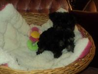 I have a 1 girl & 1 boy Yorkie poo (Yorky & Poodle)