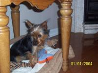 We have 1 female yorkie puppy available. They will be