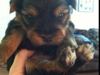 I have three ckc registered female yorkie puppies.