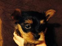 I have four very cute CKC Yorkie puppies left! Our