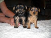 I have 2 Female CKC Yorkie Puppies for customer. They
