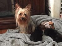 Beautiful little yorkie puppies , one male and one