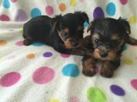 CKC yorkie puppies are ready for new homes now. One
