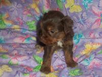 We have some yorkie puppies that will available in 2 to