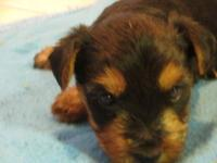 Hi! We have two male yorkies and one female yorkie for