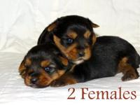 We have 3 Yorkie puppies that will be prepared to go in