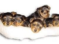 CKC REGISTERED YORKIES ,MALES & FEMALES ARE LOOKING FOR