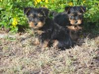 I have one sweet male yorkie puppy that is ready for