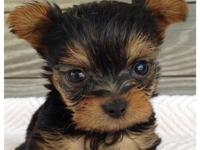 CKC YORKIE PUPPIES. THESE BABIES ARE GOING TO BE VERY