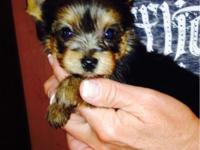 Beautiful tiny baby doll Yorkie puppy for sale. Home