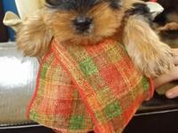 5 ckc yorkie pups 8 weeks old 4 male and 1 female.Up to