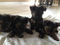 Hello everyone I have a female ckc yorkie terrier named