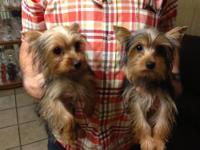 We have two female Yorkshire terriers, about six months