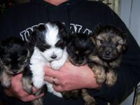 We have three female yorkiepoo young puppies offered.