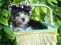 Yorkies puppies 1female & 1male $425each they come with
