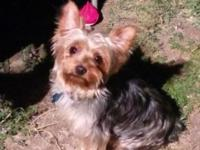 Hey my name is geraldine i have 5 Ckc yorkies available