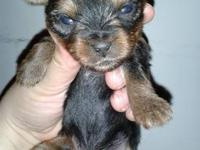 cute lil male yorkie pups ready on dec 24th just in
