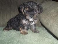 CKC Yorkipoo Female and Male that are 8 weeks old and