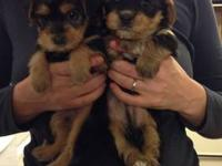 We have two yorkipoo puppies (one girl and one boy).