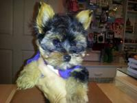 I have an Adorable Teddy Bear Face Puppy Yorkie that is