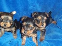 CKC Yorkshire Terrier Females. They are 6 weeks old and
