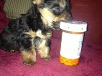 I have 2 CKC male Yorkies. I'm asking $750 each. (Born
