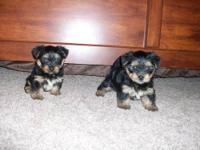 I have two male CKC registered Yorkshire Terrier