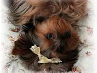I am a Yorkshire Terrier breeder & bought 2 Tri-colored