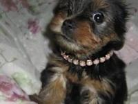 3 Beautiful yorkshire terrier girls available. They