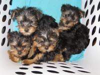 2 male and 2 female Yorkshire Terrier puppies. 10 weeks