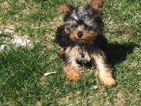 3 1/2 month old female Yorkie for sale. Bought about 2
