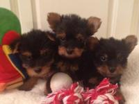 CKC Registered Yorkshire Terrier females Born 6/22/15