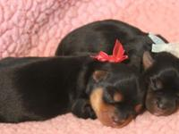 We have a new litter of CKC Yorkshire Terrier Females.