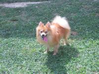 I have a Young Red Male CKC Registered Pomeranian that