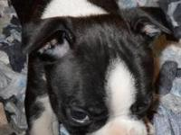 ckc boston terrier puppy male corlor