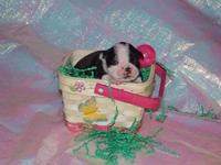Adorable boston terrier puppies seeking forever