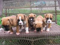 We have 2 purebred boxer puppies left. There is a male