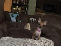 Ckc female chihuahua young puppy. Pee pad trained. Very