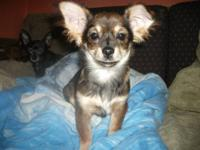 CKC Chihuahua puppy for sale Born on 10/19/12 I have a