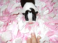 CKC Boston Terrier Female corlor black/ white/brindle