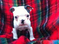 Female Boston Terrier puppy. She is 6 weeks old today.