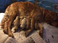 We have a litter of 8 Golden Retriever puppies, 4 kids