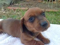 I have a beautiful litter of CKC miniature dachshund